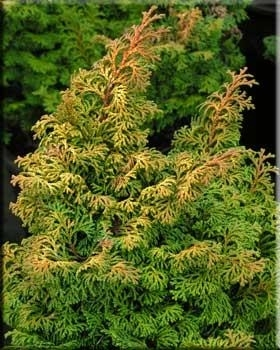 Chamaecyparis obtusa 'Kosteri' | Conifers