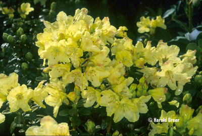 Rhododendron 'Chikor' | Rhododendrons (Hybrids & species)