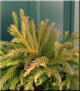 Cryptomeria japonica 'Globosa Nana' | Conifers