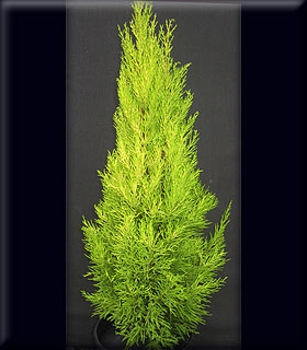 Cupressus macrocarpa 'Wilma Goldcrest' | Conifers