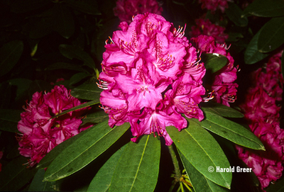 Rhododendron 'Cynthia' | Rhododendrons (Hybrids & species)