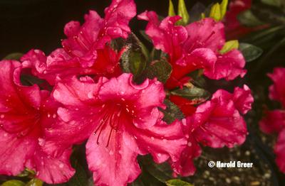 Azalea 'Dorothy Gish'   Evergreen Azaleas