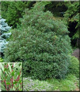 Drimys lanceolata | Deciduous & Evergreen Shrubs