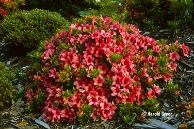 Azalea 'Flame Creeper'   Evergreen Azaleas