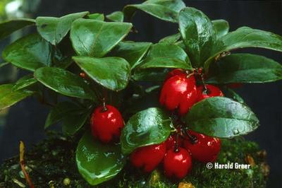 Gaultheria procumbens   Deciduous & Evergreen Shrubs
