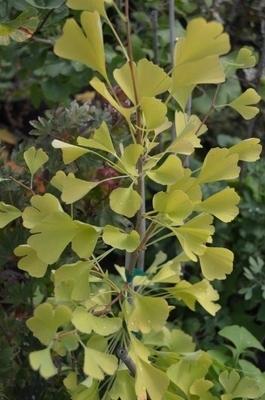 Ginkgo biloba 'Beijing Gold' | Conifers