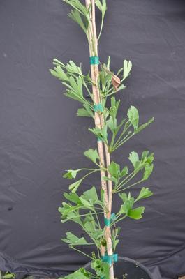 Ginkgo biloba 'Korinek'   Conifers