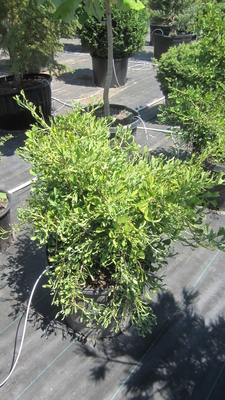 Ginkgo biloba 'Weeping Wonder' | Conifers