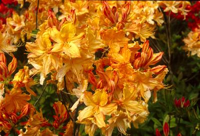 Azalea 'Golden Lights' | Deciduous Azaleas