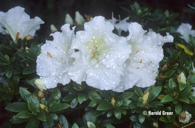Azalea 'Gumpo White'   Evergreen Azaleas