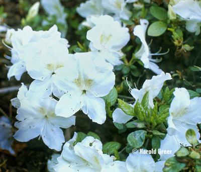 Azalea 'Helen Close'   Evergreen Azaleas