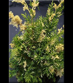 Juniperus chinensis 'Variegated Kaizuka' | Conifers