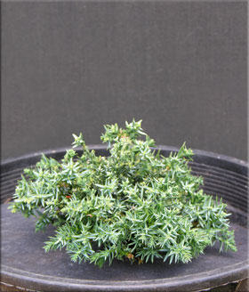 Juniperus horizontalis 'Blue Pygmy' | Conifers