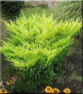 Juniperus horizontalis 'Lime Glow' | Conifers