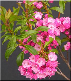 Kalmia latifolia 'Little Linda' | Deciduous & Evergreen Shrubs