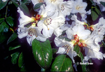 Rhododendron 'Lucy Lou'   Rhododendrons (Hybrids & species)