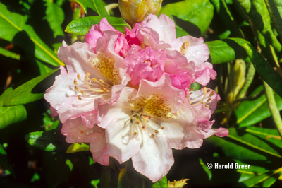 Rhododendron 'Mikkeli' | Rhododendrons (Hybrids & species)