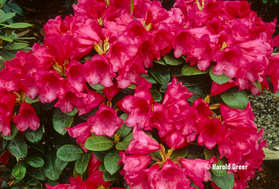Rhododendron 'Molly Ann'   Rhododendrons (Hybrids & species)