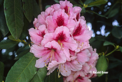 Rhododendron 'Mrs. G.W. Leak' | Rhododendrons (Hybrids & species)