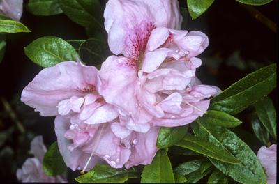 Azalea 'Nancy of Robinhill' | Evergreen Azaleas