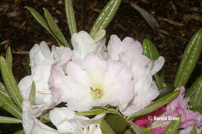 Rhododendron 'Noyo Snow' | Rhododendrons (Hybrids & species)