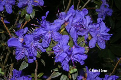Rhododendron 'Oceanlake'   Rhododendrons (Hybrids & species)