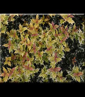 Osmanthus heterophyllus 'Goshiki' | Deciduous & Evergreen Shrubs