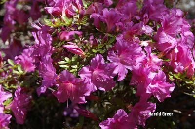Azalea 'Pearl Bradford' | Evergreen Azaleas