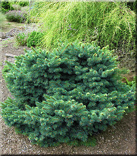 Picea abies 'Kellerman's Blue Cameo' | Conifers