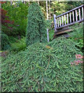 Picea abies 'Pendula' | Conifers