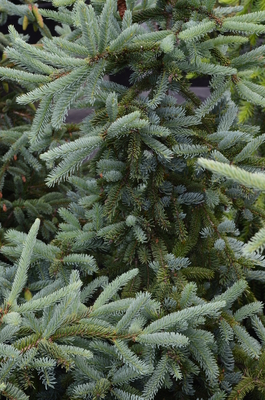 Picea glauca 'Hudsonii' | Conifers