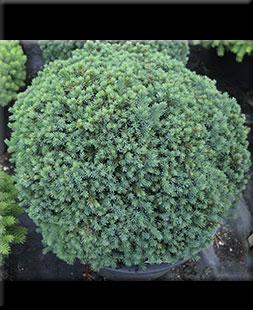Picea glauca 'Echiniformis' | Conifers
