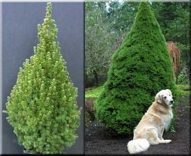 Picea glauca var. albertiana 'Conica' | Conifers