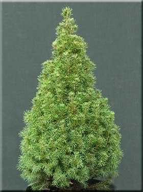 Picea glauca 'Sanders Fastigiata' | Conifers