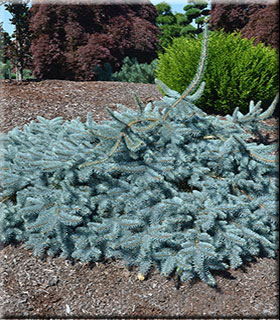 Picea pungens 'Procumbens' | Conifers