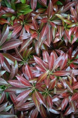 Pieris japonica 'Katsura' | Deciduous & Evergreen Shrubs