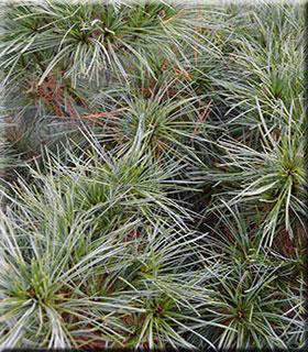 Pinus strobus 'Nana' | Conifers