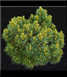 Pinus strobus 'Sea Urchin'   Standards