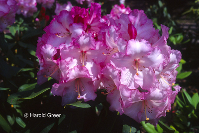 Rhododendron 'Point Defiance' | Rhododendrons (Hybrids & species)
