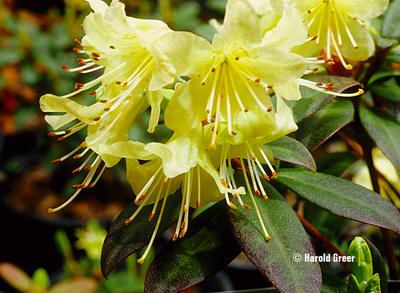 Rhododendron 'Princess Anne' | Rhododendrons (Hybrids & species)