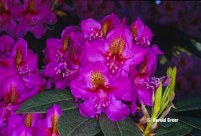 Rhododendron 'Red Eye'   Rhododendrons (Hybrids & species)