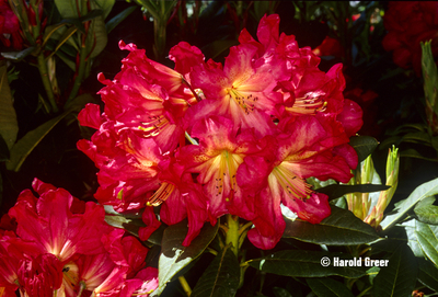 Rhododendron 'Red Gold'   Rhododendrons (Hybrids & species)
