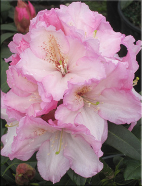 Rhododendron 'Satin Memories'   Rhododendrons (Hybrids & species)