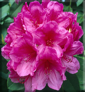 Rhododendron 'Anna Rose Whitney' | Rhododendrons (Hybrids & species)