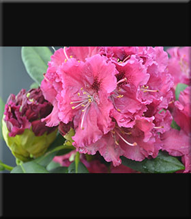 Rhododendron 'Besse Howells'   Rhododendrons (Hybrids & species)
