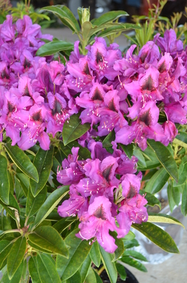 Rhododendron 'Black Eye' | Rhododendrons (Hybrids & species)