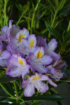 Rhododendron 'Blue Angel' | Rhododendrons (Hybrids & species)