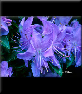 Rhododendron 'Blue Diamond' | Rhododendrons (Hybrids & species)