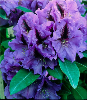 Rhododendron 'Blue Pacific' | Rhododendrons (Hybrids & species)