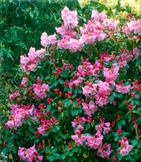 Rhododendron 'Bow Bells' | Rhododendrons (Hybrids & species)